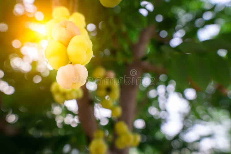 La grosella espinosa amarilla es una fruta que tiene dos tipos, qué cada tipo tiene un gusto agridulce y esto es una especie amar imagen de archivo