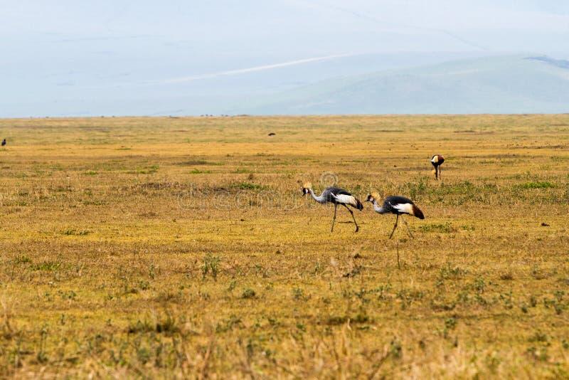 La gru incoronata Grey (regulorum di Balearica) ha messo in pericolo gli uccelli immagini stock