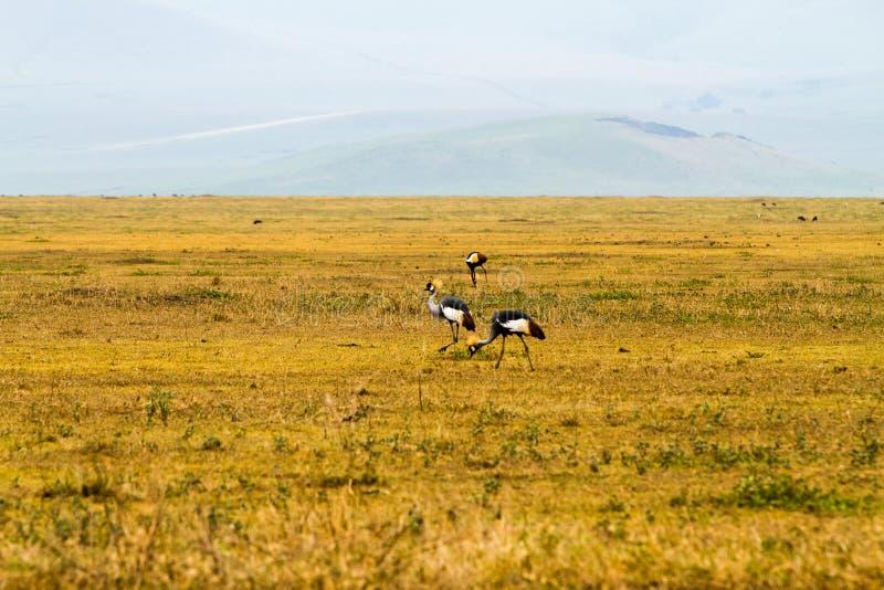 La gru incoronata Grey (regulorum di Balearica) ha messo in pericolo gli uccelli fotografia stock libera da diritti