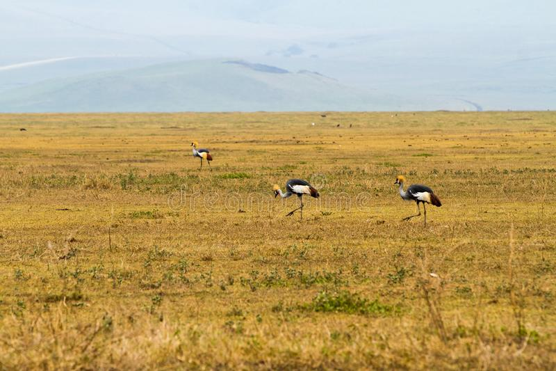 La grue couronnée par gris (regulorum de Balearica) a mis en danger des oiseaux photographie stock