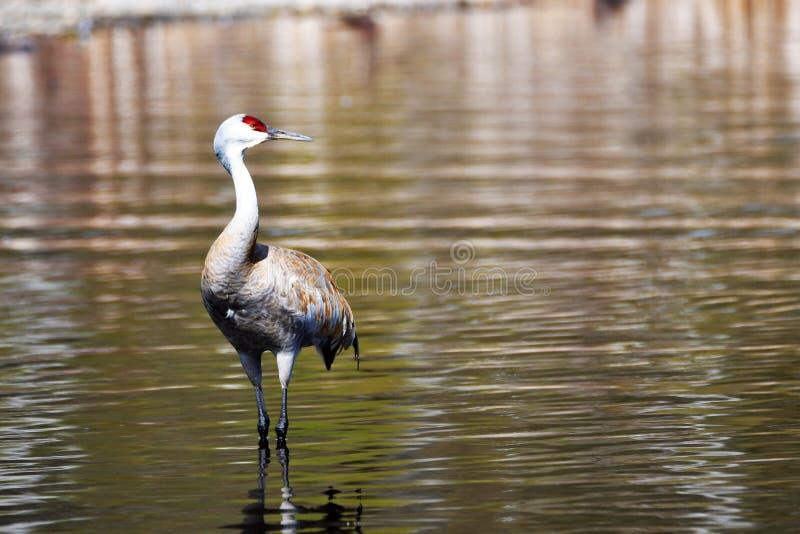 La grue de Sandhill est de nouveau au lac Burnaby photos libres de droits