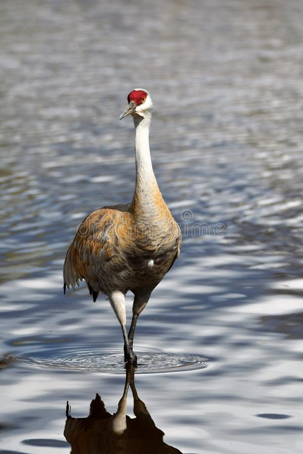 La grue de Sandhill est de nouveau au lac Burnaby photo stock