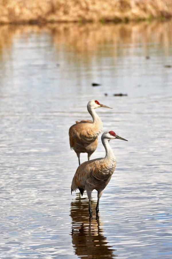 La grue de Sandhill est de nouveau au lac Burnaby photo libre de droits