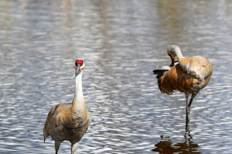 La grue de Sandhill est de nouveau au lac Burnaby image stock