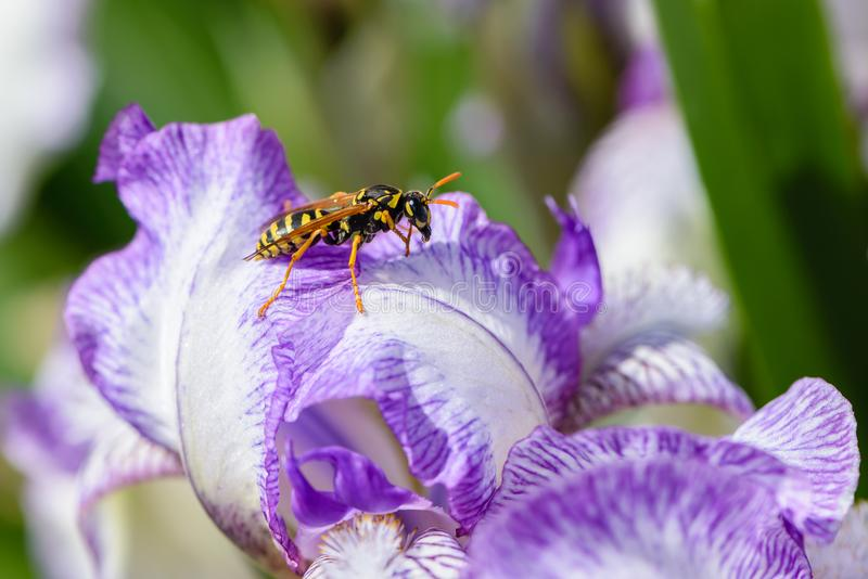 La guêpe se repose sur une fleur d'iris avec de grands pétales blancs avec une bordure lilas image stock