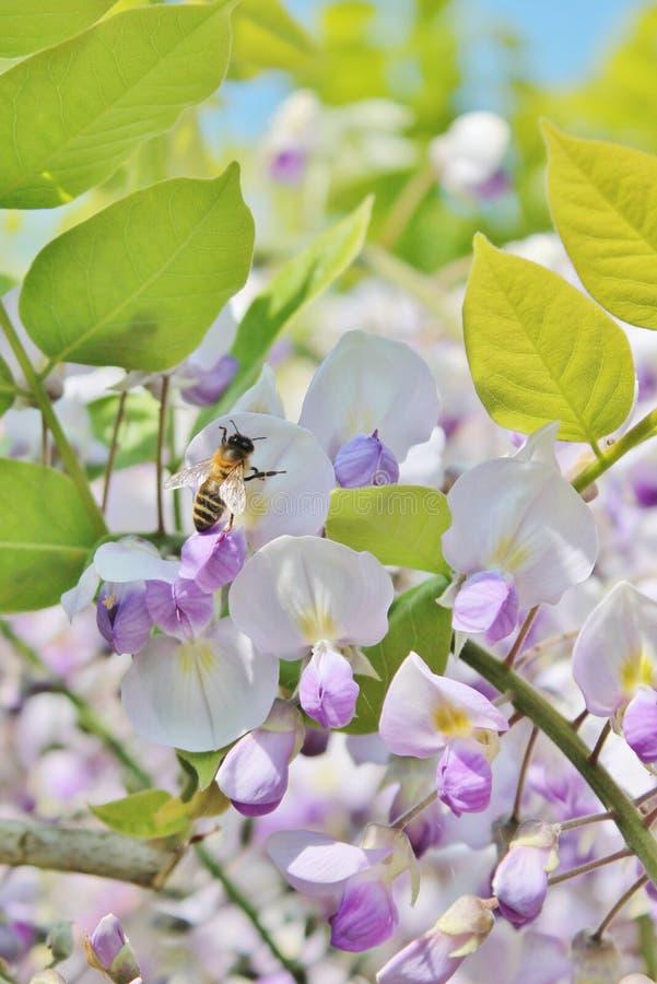 La guêpe sur la fleur lilas de glycine fleurit - la photo courante photos stock