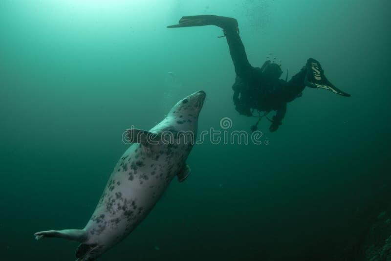 La guarnizione grigia aiuta l'operatore subacqueo fotografia stock libera da diritti