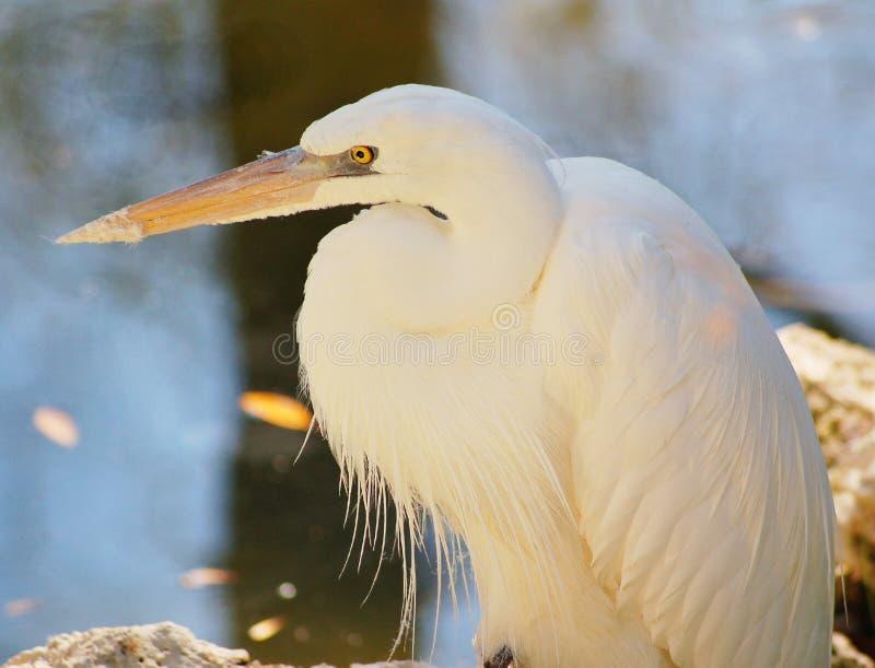 La Héron-couleur blanche grande Morph image libre de droits