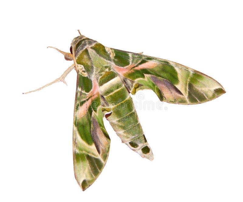 La halcón-polilla del adelfa, o la polilla del verde caqui, se aísla en el fondo blanco imagen de archivo