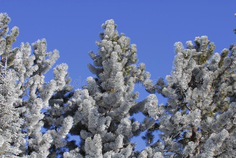 La helada cubrió árboles de pino fotos de archivo libres de regalías