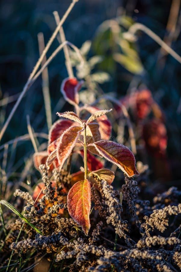 la helada cubri? las hojas de la hierba y del ?rbol en luz soleada de la ma?ana del invierno foto de archivo