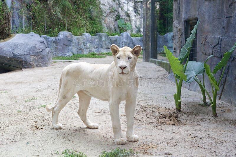 La hembra blanca del león imagen de archivo