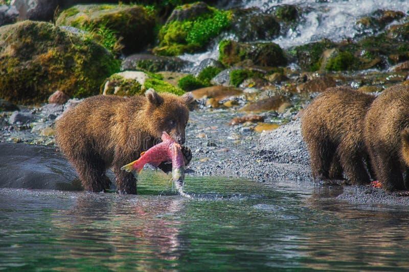 La hembra del oso marrón de Kamchatka y los cachorros de oso cogen pescados en el lago Kuril Península de Kamchatka, Rusia foto de archivo