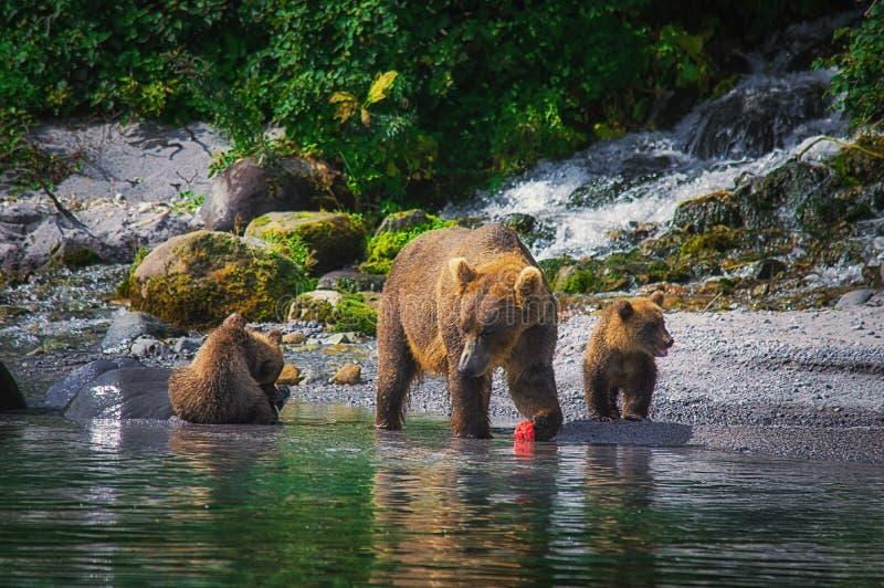 La hembra del oso marrón de Kamchatka y los cachorros de oso cogen pescados en el lago Kuril Península de Kamchatka, Rusia fotografía de archivo