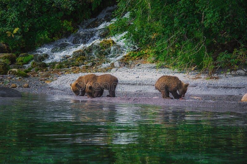 La hembra del oso marrón de Kamchatka y los cachorros de oso cogen pescados en el lago Kuril Península de Kamchatka, Rusia fotografía de archivo libre de regalías
