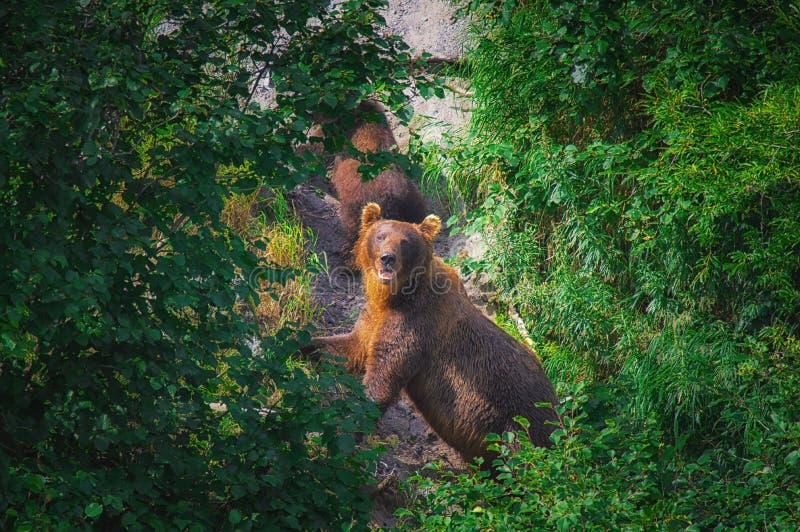 La hembra del oso marrón de Kamchatka y los cachorros de oso cogen pescados en el lago Kuril Península de Kamchatka, Rusia fotos de archivo