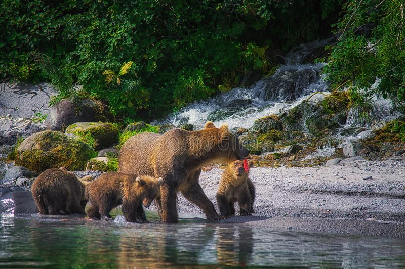 La hembra del oso marrón de Kamchatka y los cachorros de oso cogen pescados en el lago Kuril Península de Kamchatka, Rusia imágenes de archivo libres de regalías