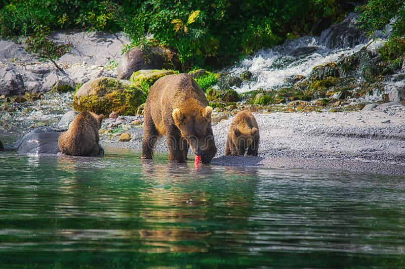 La hembra del oso marrón de Kamchatka y los cachorros de oso cogen pescados en el lago Kuril Península de Kamchatka, Rusia foto de archivo libre de regalías