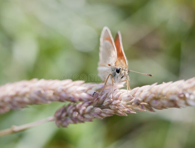 La hermosa vista de la pequeña mariposa del capitán se encaramó en la hierba - tu foto de archivo