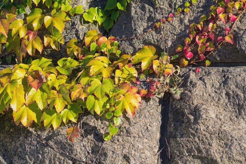 La hiedra colorida se va en las piedras encendidas por el sol imagen de archivo libre de regalías