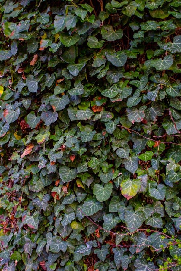 La hiedra crece en una pared fotografía de archivo libre de regalías