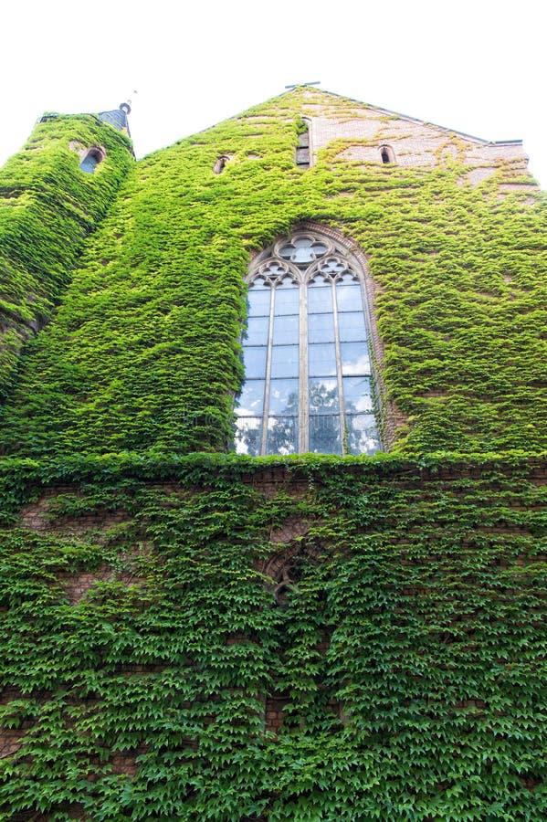 La hiedra creciente u otros escaladores encima de la pared del edificio puede tener muchas ventajas El verde deja la superficie c imagen de archivo libre de regalías