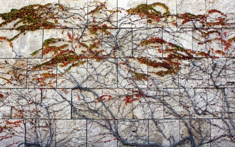La hiedra en la pared, centro de Getty imagen de archivo libre de regalías