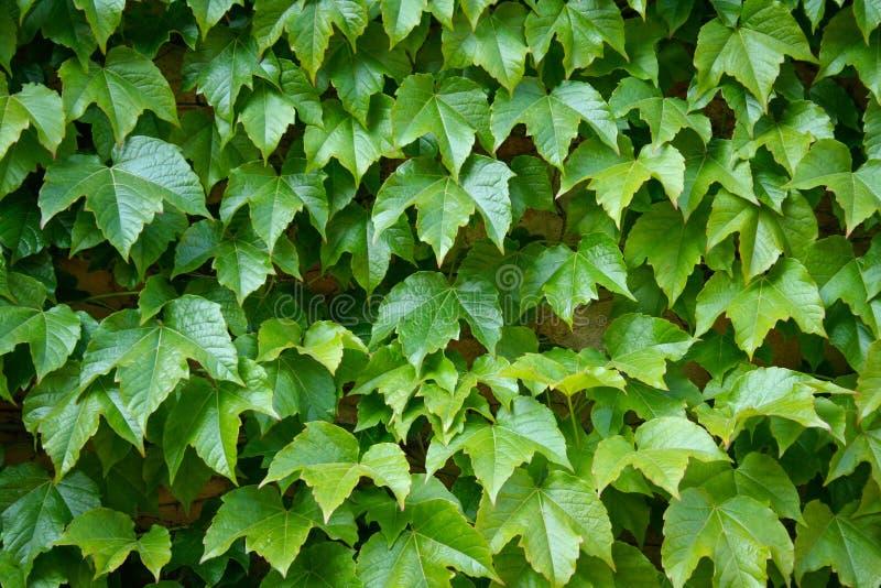 La hiedra inglesa es una planta de vid imperecedera que se aferra foto de archivo libre de regalías