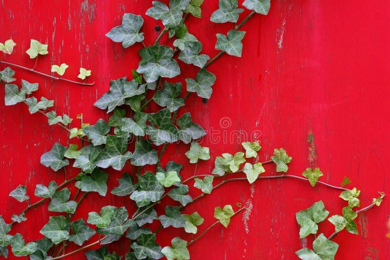 La hiedra inglesa sube la pared roja vibrante fotos de archivo