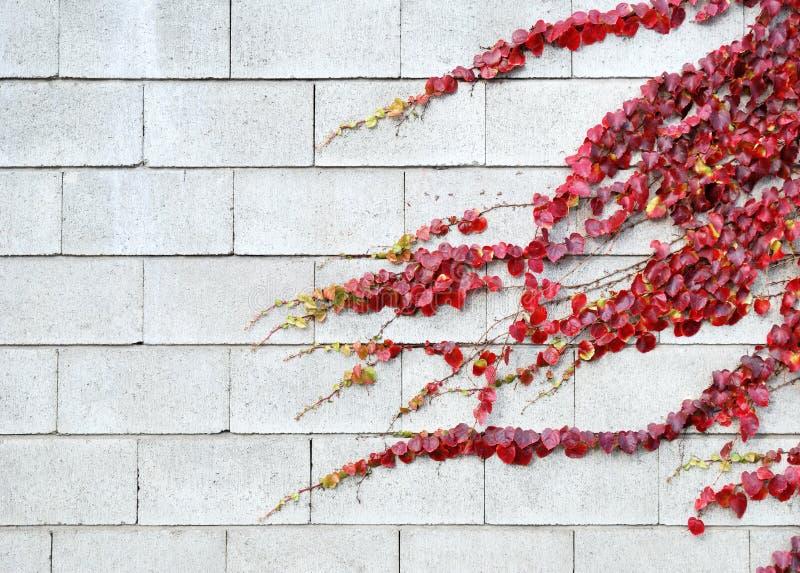 La hiedra roja se va en otoño en una pared blanca foto de archivo libre de regalías