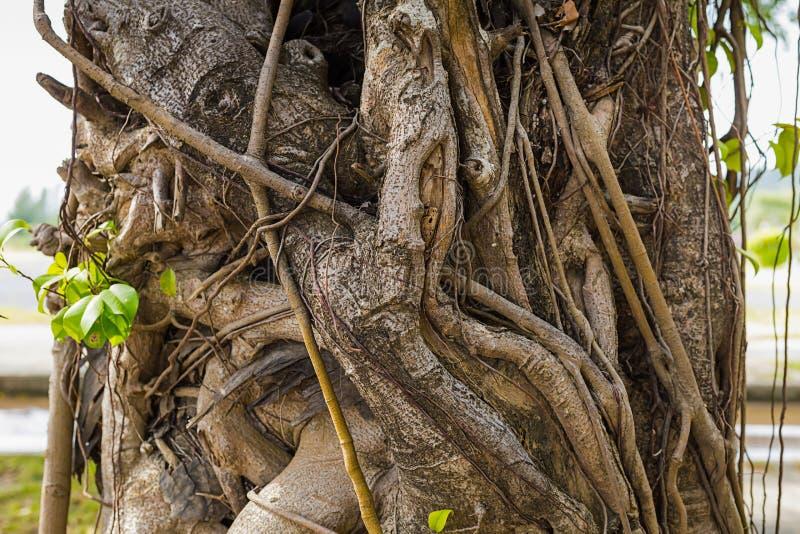 La hiedra seca tuerce alrededor un tronco de árbol amplio con el primer de las hojas fotos de archivo libres de regalías