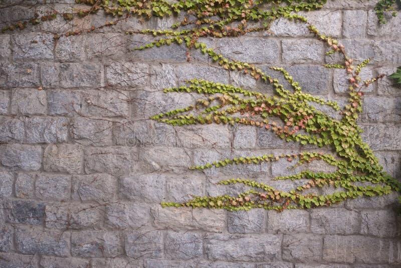 La hiedra verde y rosada sale de subir la pared de piedra imagen de archivo libre de regalías