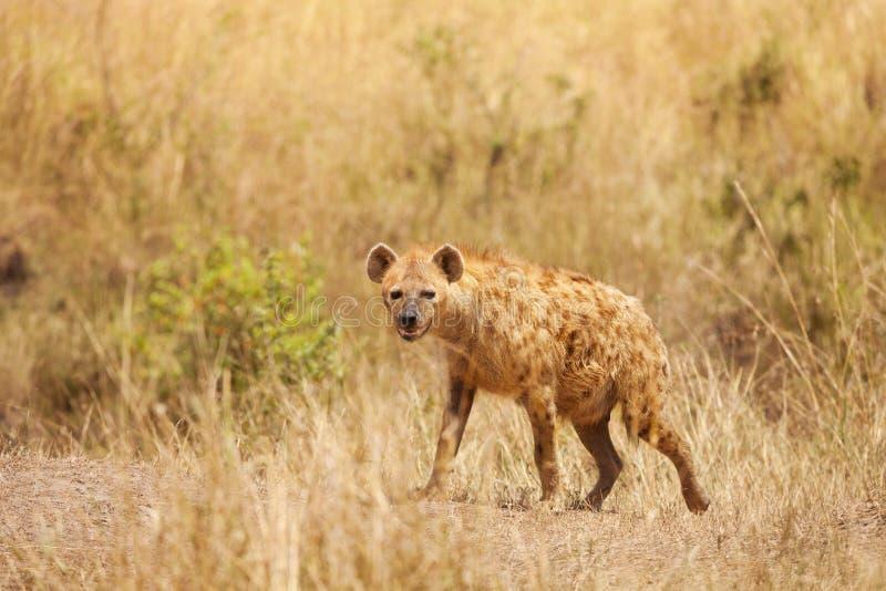La hiena manchada se coloca alerta en hierba secada imagen de archivo