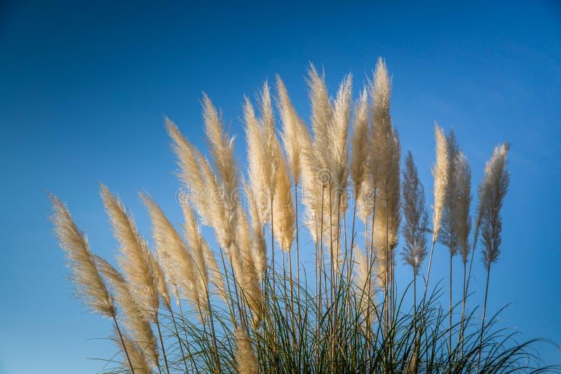 La hierba de pampa de la planta Hunker Columnas de hierba de pampa contra un cielo azul imagenes de archivo