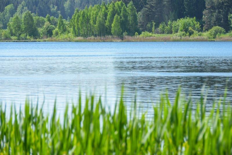 La hierba del paisaje crece contra la perspectiva del agua del lago y del bosque en verano, el cisne, espacio de la copia foto de archivo
