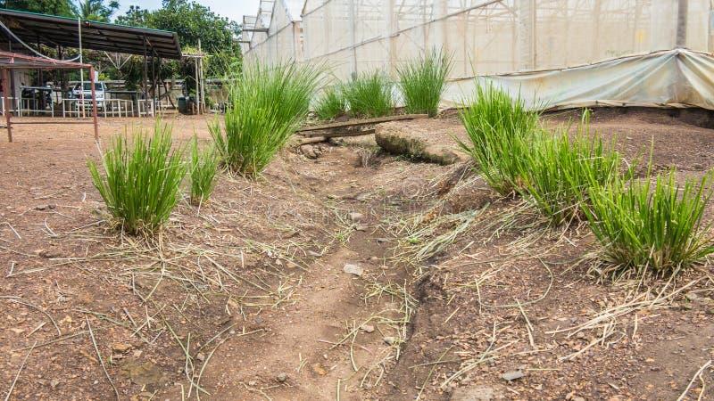La hierba del vetiver para protege la erosión fotografía de archivo libre de regalías