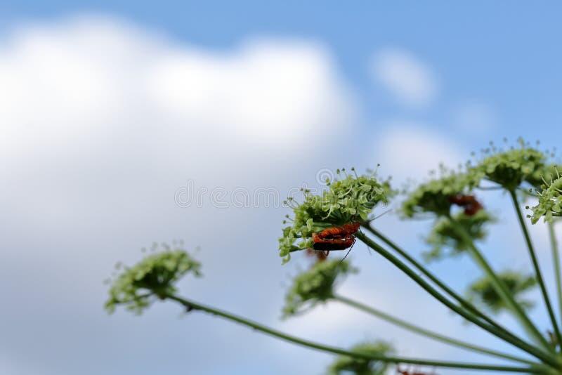 La hierba está floreciendo en el prado Los insectos se acoplan en él Tirado de debajo, contra el cielo azul foto de archivo