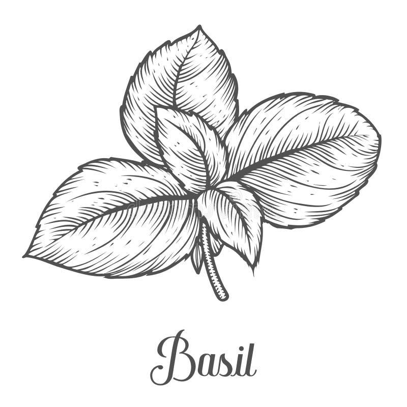 La hierba fresca de la albahaca deja el ejemplo dibujado mano del vector de la planta en el fondo blanco stock de ilustración