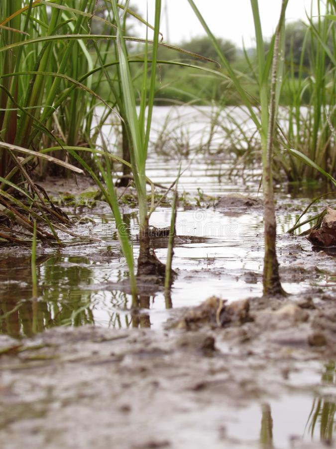 La hierba jugosa verde clara del río con las raíces negras sucias en el banco del río del lago crece imagen de archivo