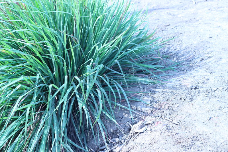 La hierba que crece en un jardín al aire libre foto de archivo