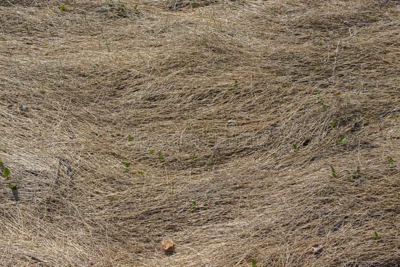 La hierba seca se separa el año pasado en la tierra en primavera Otoño temprano, la hierba muerta miente firmemente en la tierra  fotos de archivo