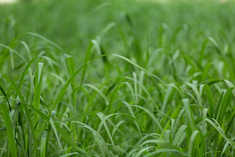 La hierba verde clara en la hierba del pantano en el pantano foto de archivo