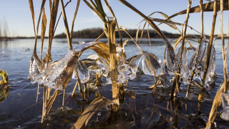 La hierba verde congeló en el hielo extraño foto de archivo libre de regalías