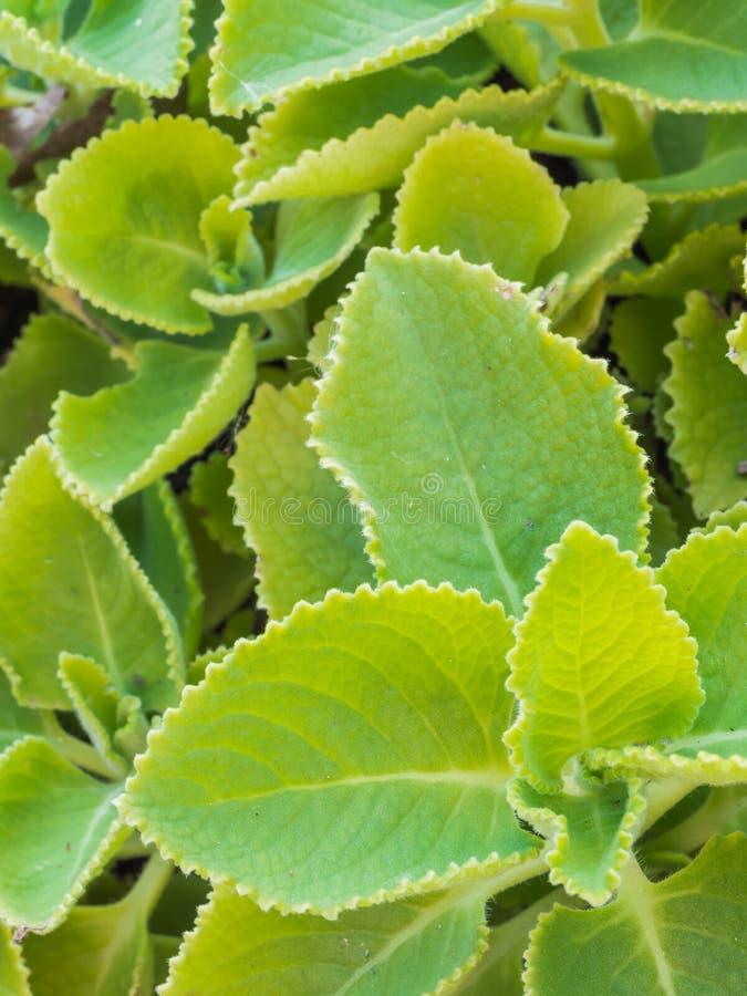 La hierba verde fresca del primer llamó la borraja indian (ambón de Plectranthus fotografía de archivo