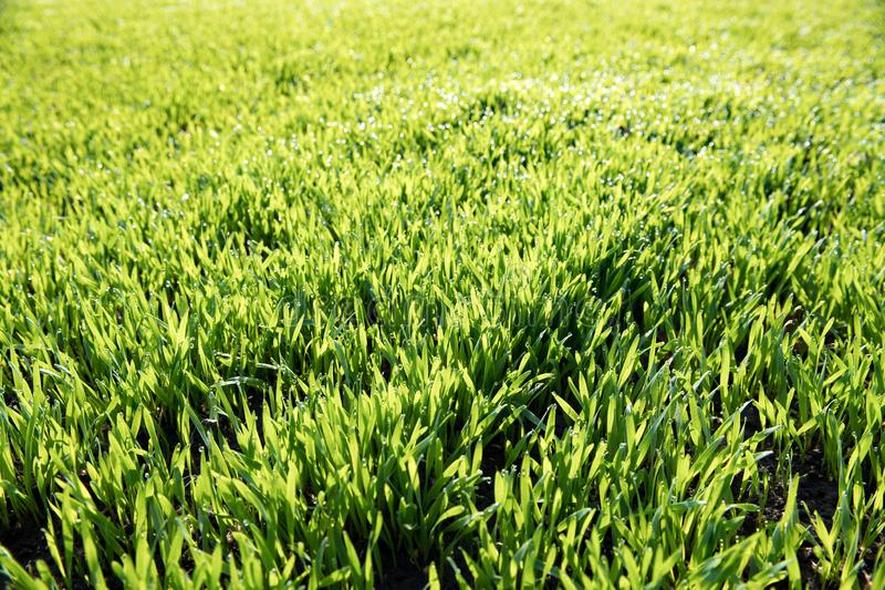 La hierba verde fresca del trigo con descensos rocía como fondo foto de archivo