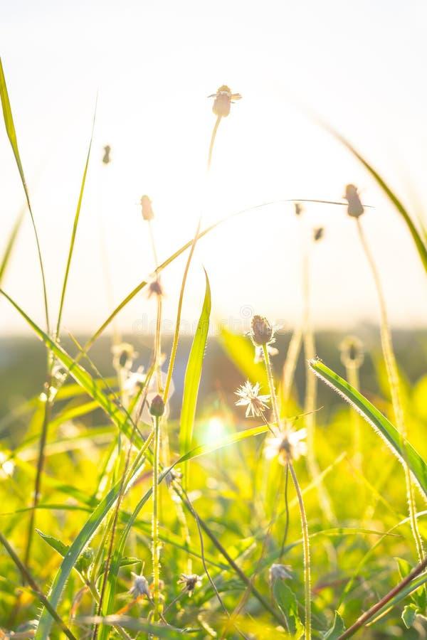 La hierba verde y las flores de la hierba en el campo con la llamarada se encienden imagen de archivo libre de regalías
