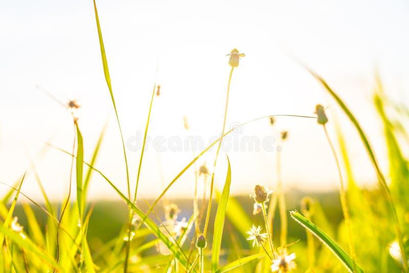 La hierba verde y las flores de la hierba en el campo con la llamarada se encienden fotos de archivo libres de regalías