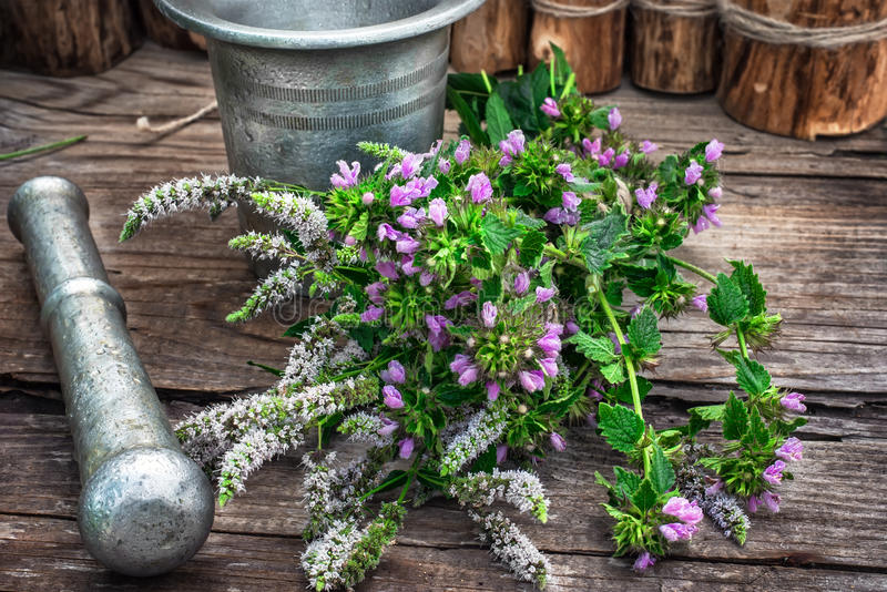 La hierbabuena es planta herbácea perenne imagenes de archivo