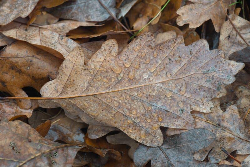 La hoja caida otoño del roble con agua cae macro foto de archivo