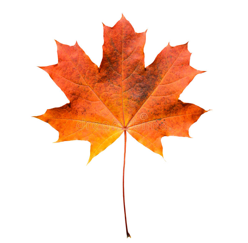 La hoja de arce anaranjada y roja de oro aisló el fondo blanco Hoja de arce hermosa del otoño aislada en blanco imagen de archivo
